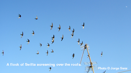 A flock of Swifts screaming over the roofs.