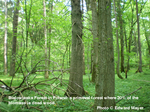 Bialowieska Forest in Poland: a primeval forest where 30% of the biomass is dead wood.